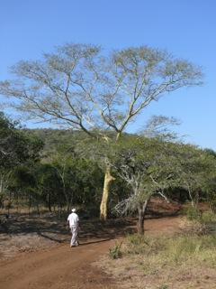 Fever Trees – Acacia xanthophloea Benth