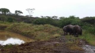 Rhinos at batleground dam