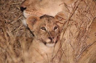 Lion cubs born on Nkonka