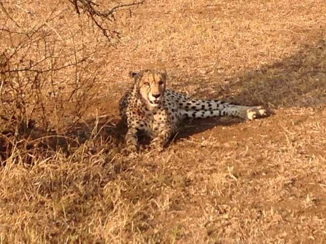 Cheetah after a kill